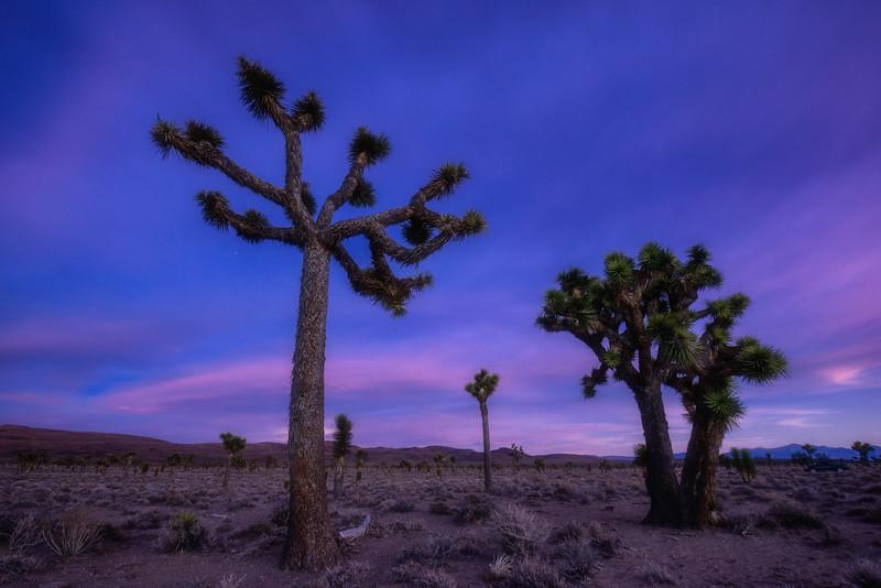 Lee Flat Joshua Trees