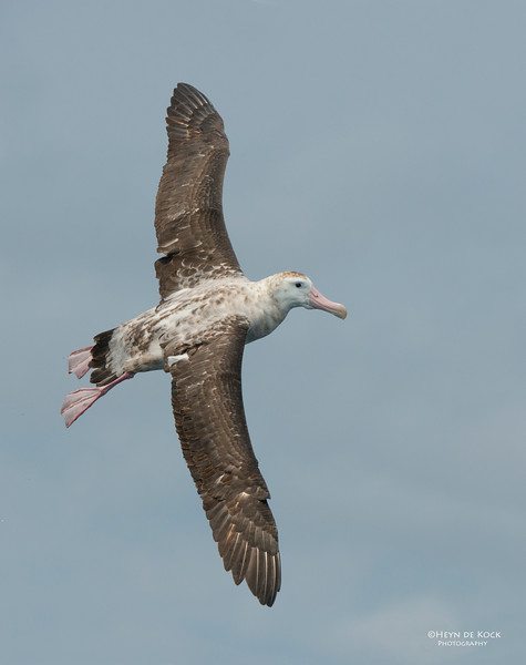 Antipodean Albatross, Wollongong, NSW, Aus, Oct 2013-5.jpg