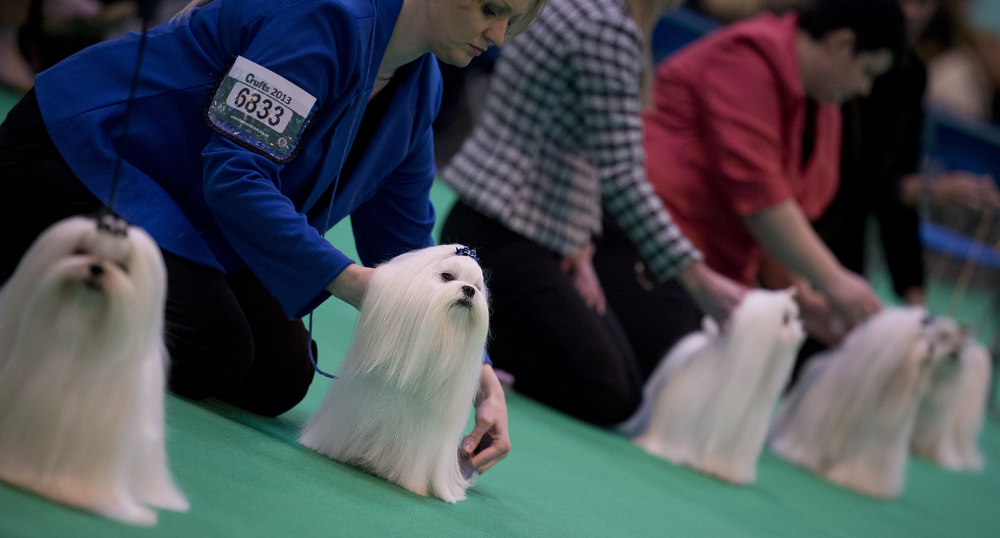 """. Maltese dogs are seen in the show ring on the second day of the Crufts dog show in Birmingham, in central England on March 8, 2013. The annual event sees dog breeders from around the world compete in a number of competitions with one dog going on to win the \""""Best in Show\"""" category.  BEN STANSALL/AFP/Getty Images"""
