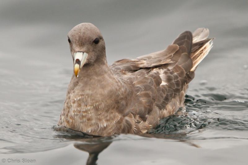 Northern Fulmar at pelagic out of Bodega Bay, CA (10-15-2011) - 868.jpg