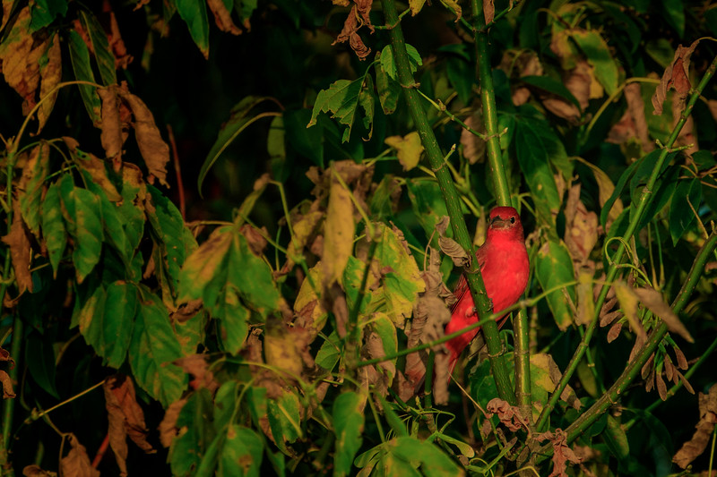 9.18.18 - Blackburn Creek Fish Hatchery: Summer Tanager