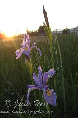 Iris 6-6-2011