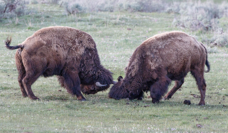 Yellowstone-2251.jpg