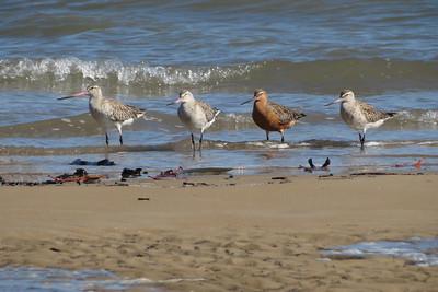 MIGRATORY WADING BIRDS