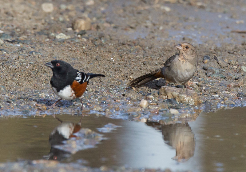 Spotted Towhee California Towhee Camp Pendleton 2017 12 31-3.CR2-2.CR2