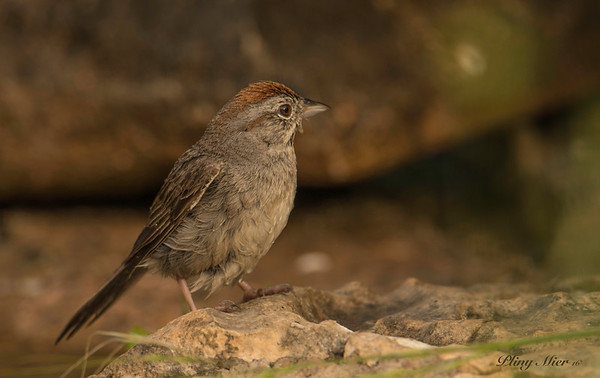 Rufous-crowned Sparrow_DWL0189.jpg