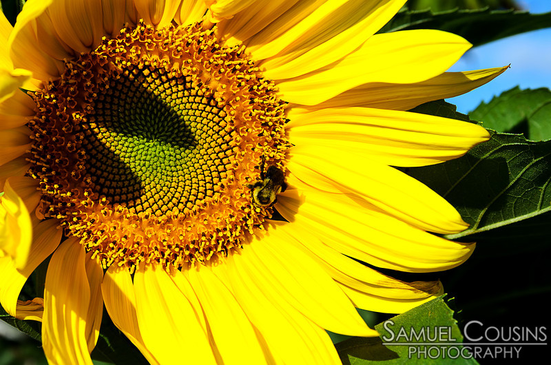 A bee on a sunflower.
