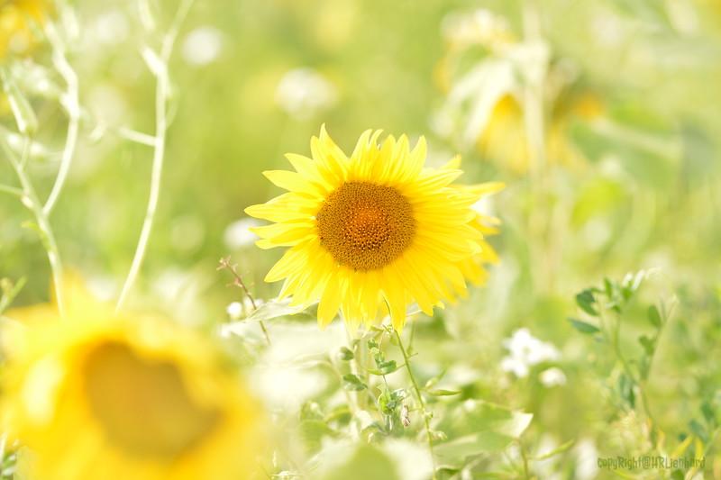Sunflower Lonay_20092020 (20).JPG