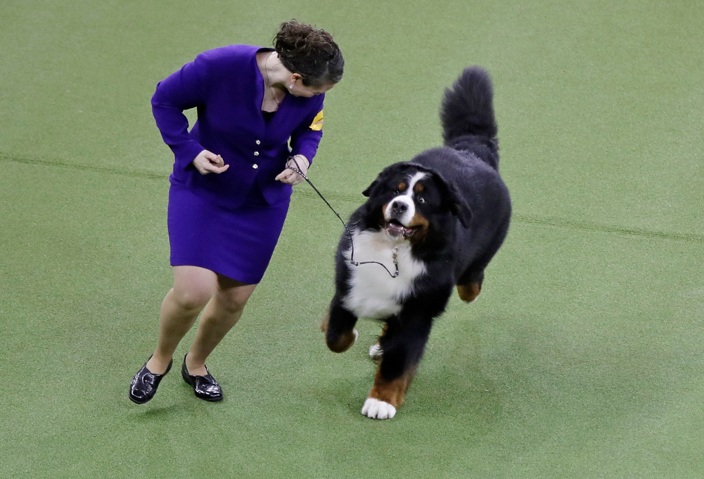 . Tag, a Bernese mountain dog, competes with the working group during the 141st Westminster Kennel Club Dog Show Tuesday, Feb. 14, 2017, in New York. (AP Photo/Frank Franklin II)