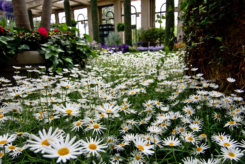 All the daisies