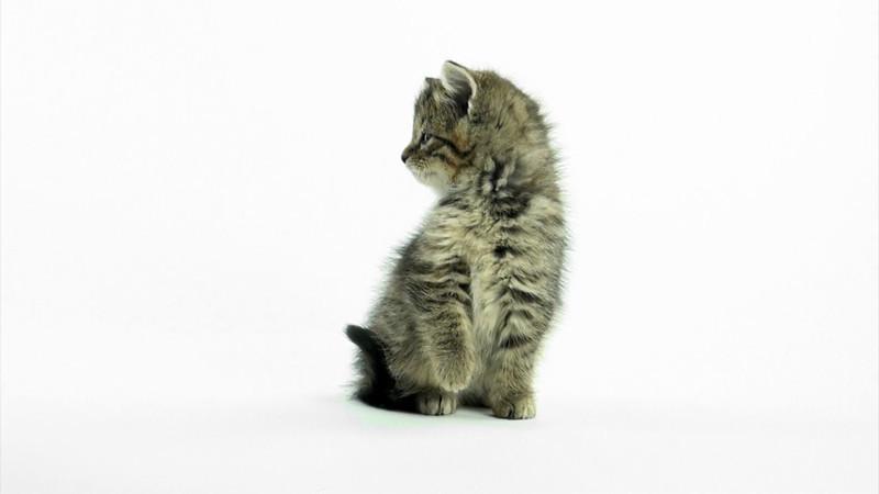 Kittens_tabby_023.mov