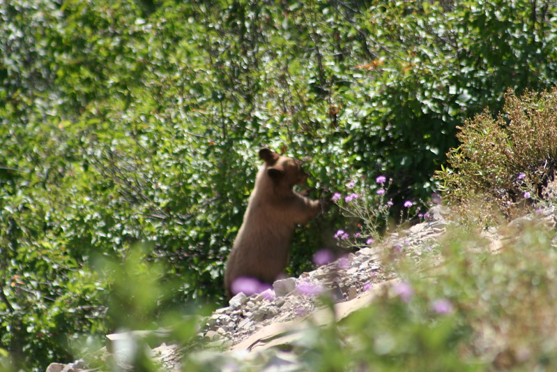 20110828 - 049 - GNP - Bear Cub Along Road By Many Glacier Hotel.JPG