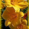 6-11-11  Daylilies from my backyard.