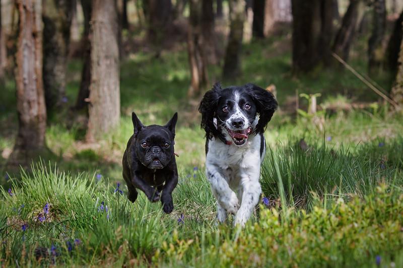 2018 - Dog portrait - Snerty & Fleur 003