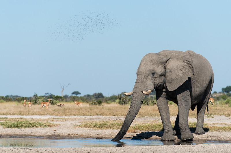 African Elephant, Savuti, Chobe NP, Botswana, May 2017-1.jpg
