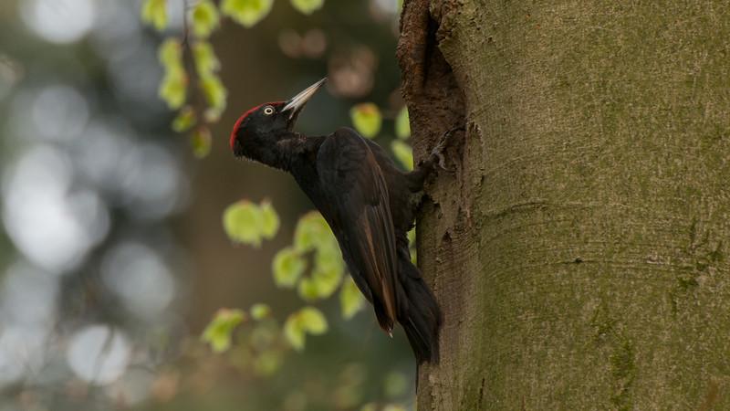 Black Woodpecker, Dryocopus martius. Veluwe NP, The Netherlands.