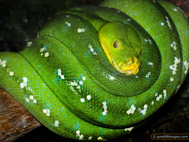 Green tree python coiled on a tree branch