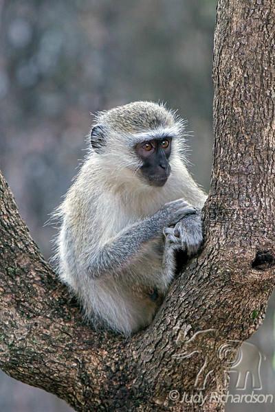 Vervet Monkeys ~ 2014