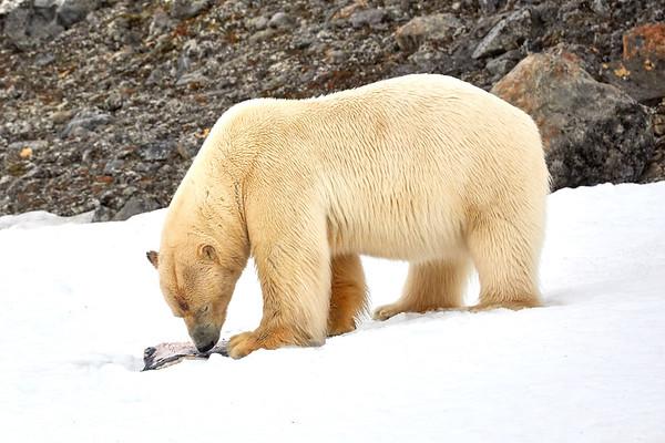 Polar Bear Eating Seal Svalbard Norway 2018