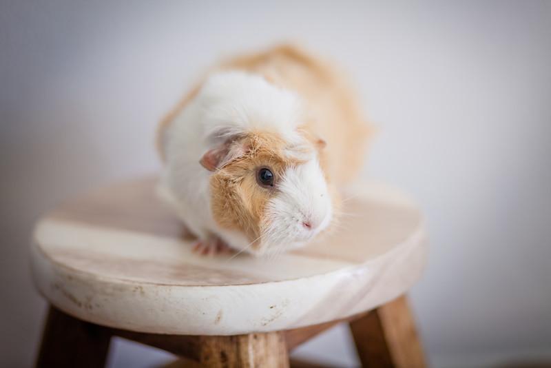 Ginea Pigs-4.jpg