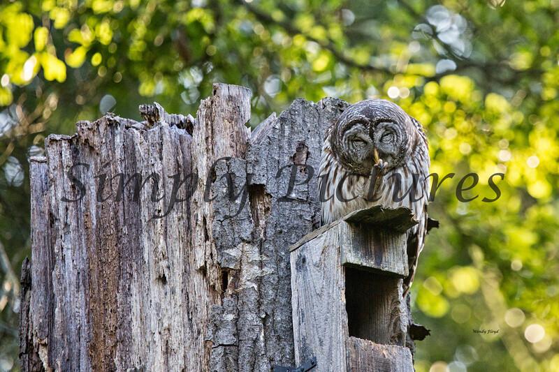 Owl  (24)