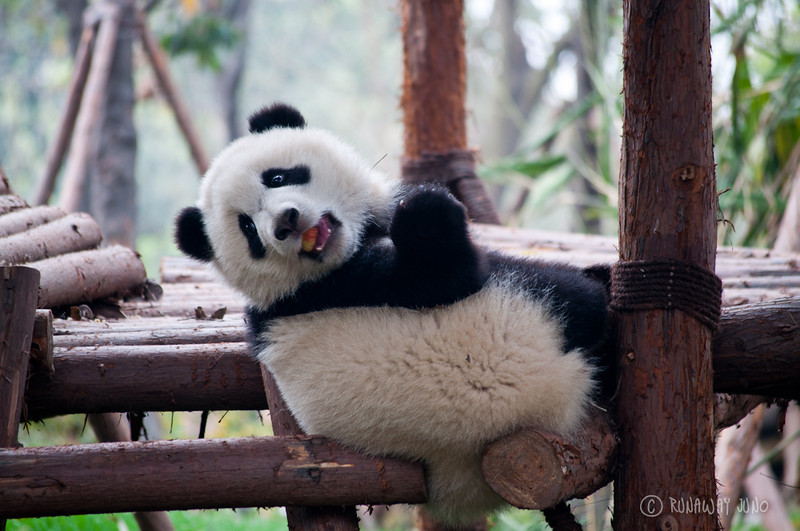 Panda_Kindergarten_Apple_Chengdu_Sichuan_China.jpg