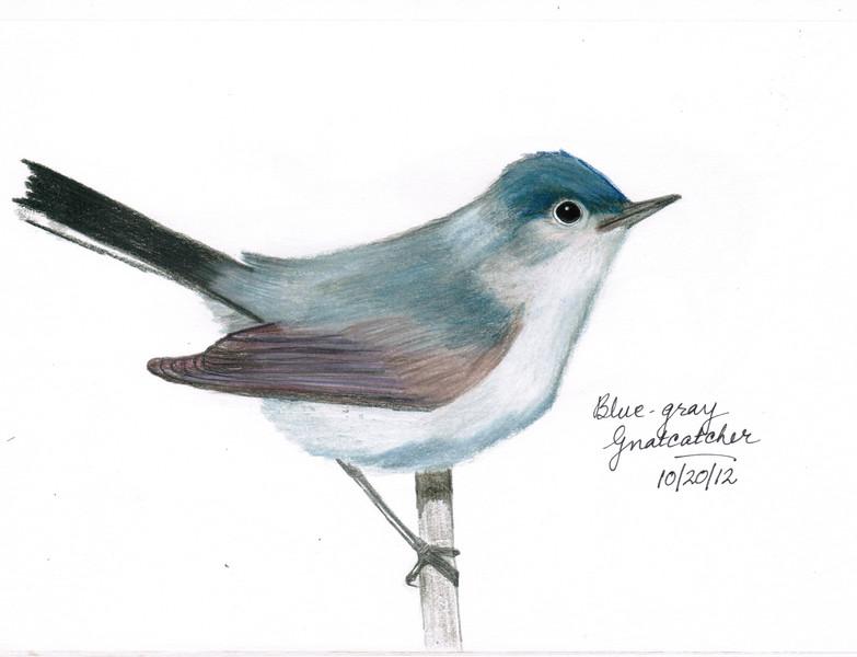 Blue-gray Gnatcatcher - October, 2012