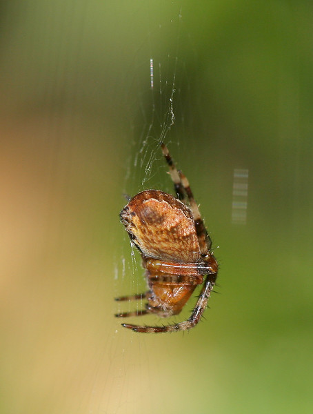 0933 Spider.jpg