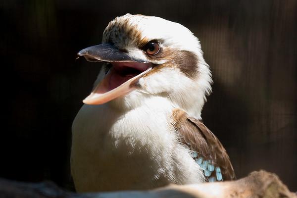 Kingfishers, Kookaburras