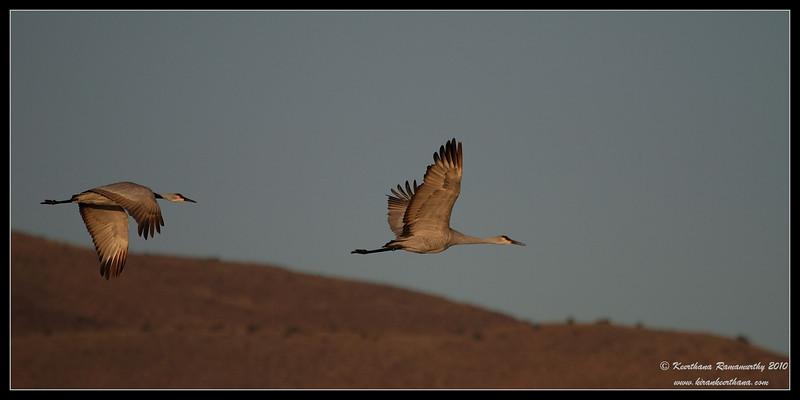 Sandhill Crane in early morning light, Bosque Del Apache, Socorro, New Mexico, November 2010