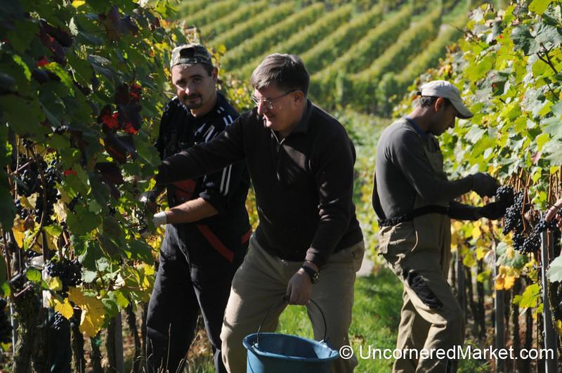 Cutting Away the Grapes - Thüngersheim, Germany