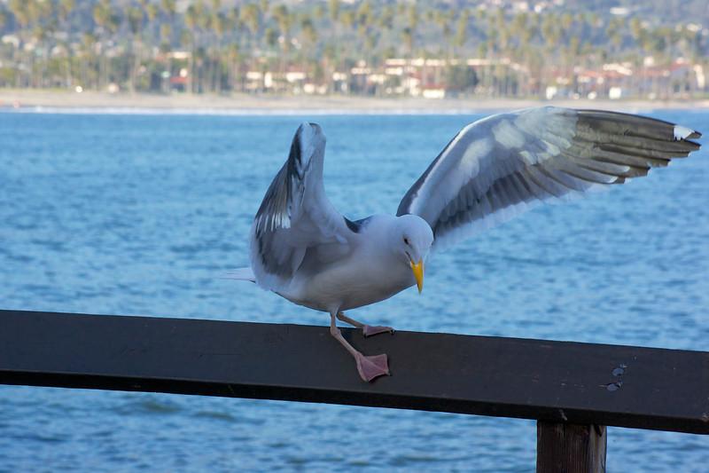 Seagull Santa Barbara Pier ref: 2682ca57-2494-45dc-a1a9-4316d4bb4431