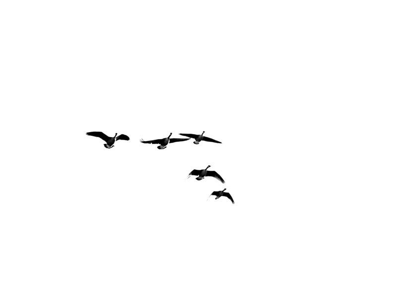 geese in sky.jpg