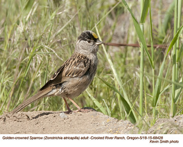 Golden-crowned Sparrow A68428.jpg