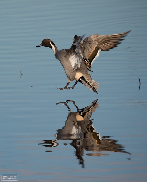 Northern Pintail coming in for landing