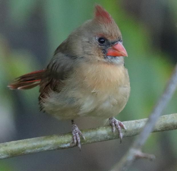 female cardinal 2.jpg