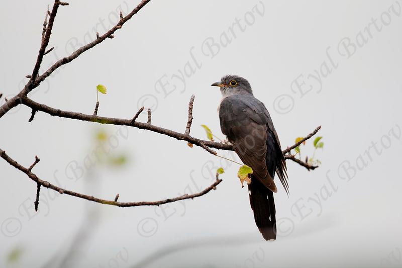 Red-Chested Cuckoo_Tarangiri Tanzania_febr_Eyal Bartov 2.jpg