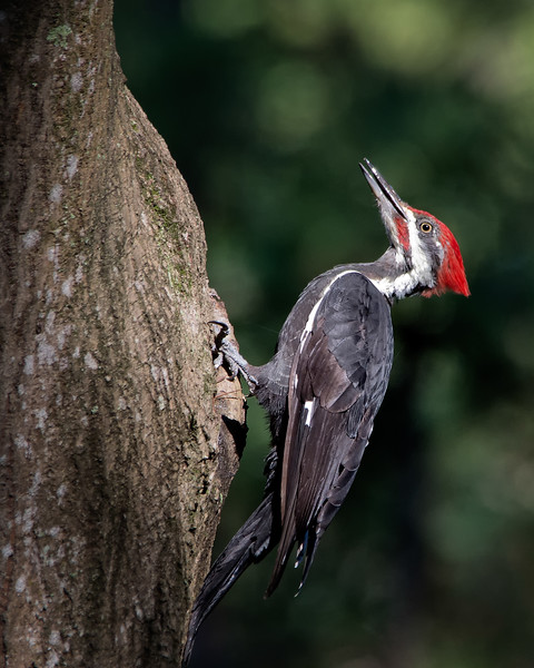 Piliated woodpeckeron tree 8x10.jpg