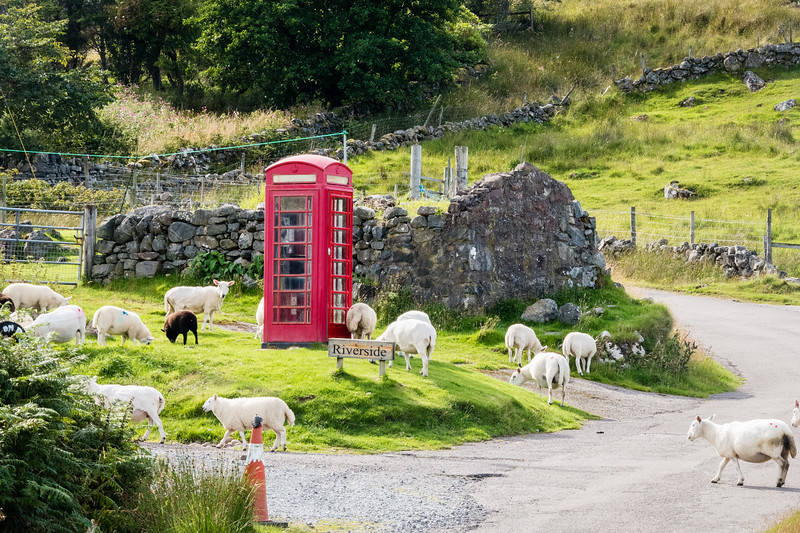 Sheep graze near a telephone booth in Clashnessie, Scotland.