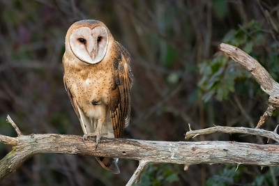 Owls of the Pacific Northwest
