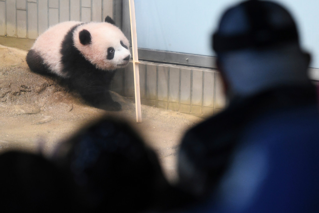 . Visitors look at female giant panda cub Xiang Xiang, left, at Ueno Zoo in Tokyo Tuesday, Dec. 19, 2017.  Xiang Xiang, or Fragrance in Chinese, a 6-month-old female giant panda, made a debut Tuesday in a limited public viewing for avid fans who obtained tickets through a highly competitive lottery process. (Toru Yamanaka/Pool Photo via AP)