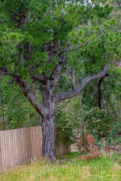 Old Pruned Pine II
