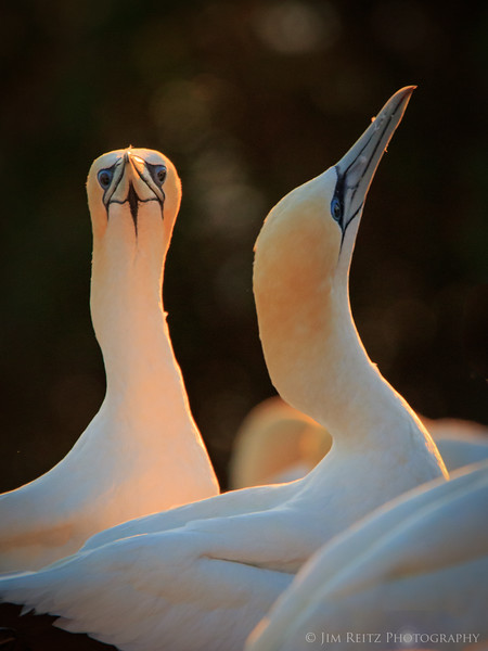 Gannets at Cape Kidnappers