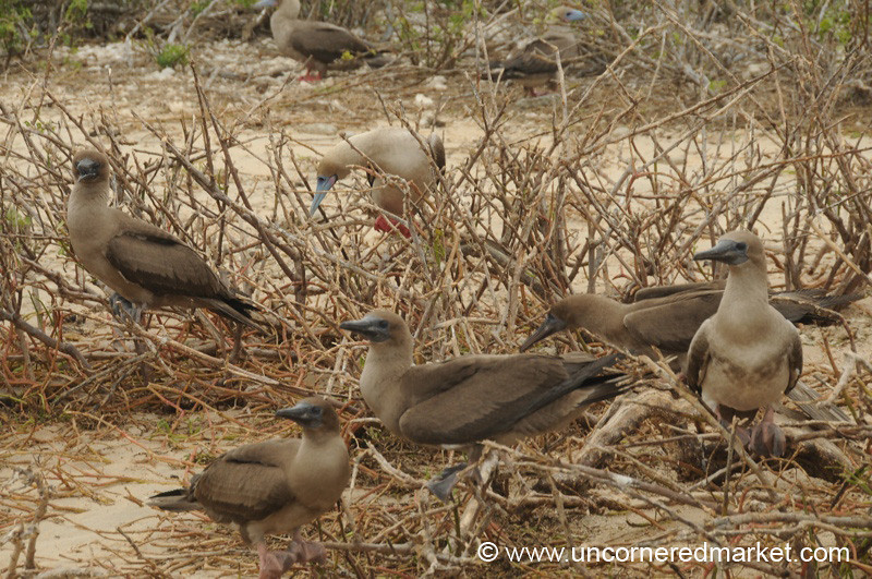 Red Footed Booby Town - Galapagos Islands