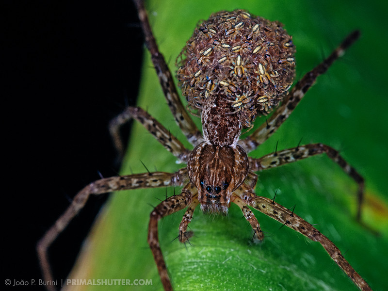 Trechaleidae fishing spider carrying her recently hatched spiderlings