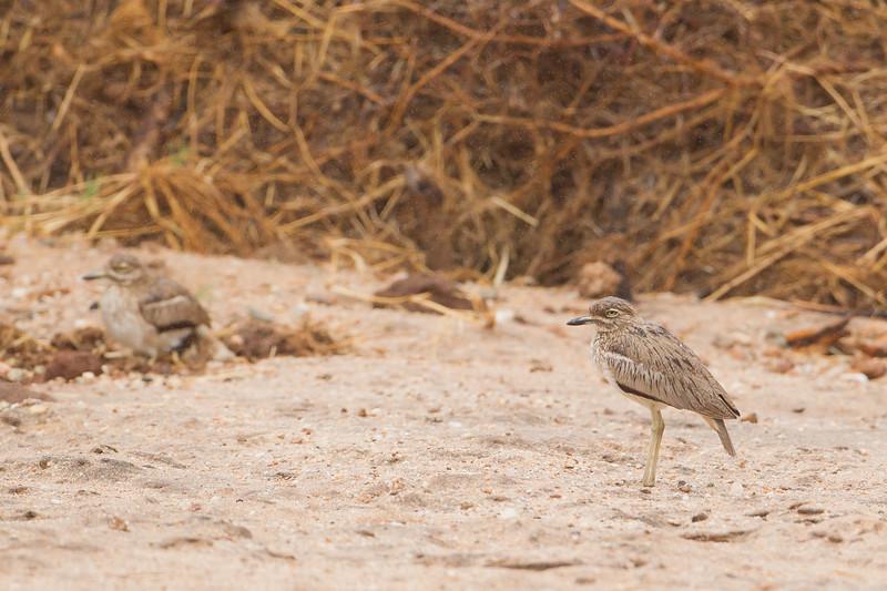 Water Thick-knee - Tarangire National Park, Tanzania