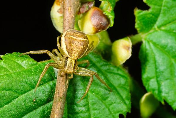 Thomisidae