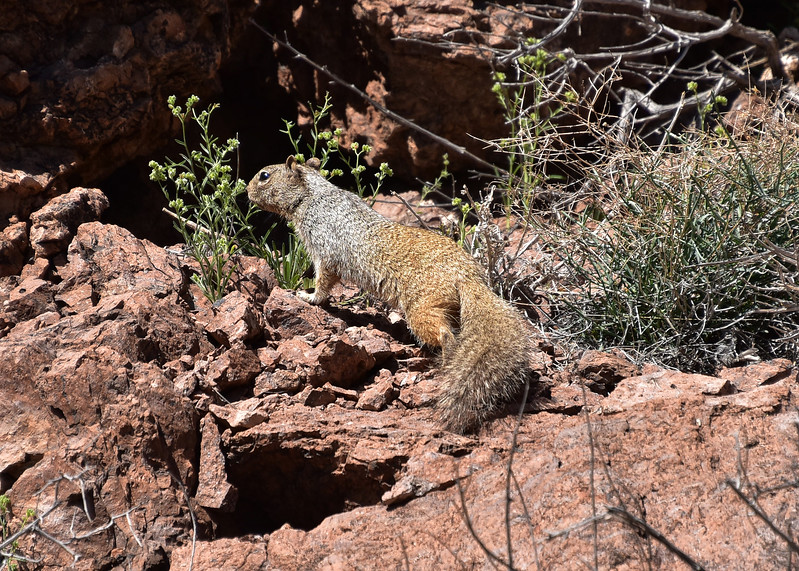 NEA_1027-7x5-Squirrel-Chupadera.jpg