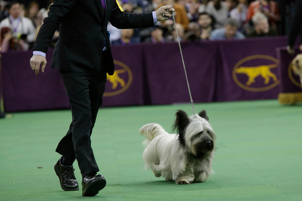 . Larry Cornelius shows Charlie, a skye terrier during the terrier group competition at the Westminster Kennel Club dog show, Tuesday, Feb. 17, 2015, at Madison Square Garden in New York.  Charlie won the terrier group competition. (AP Photo/Mary Altaffer)