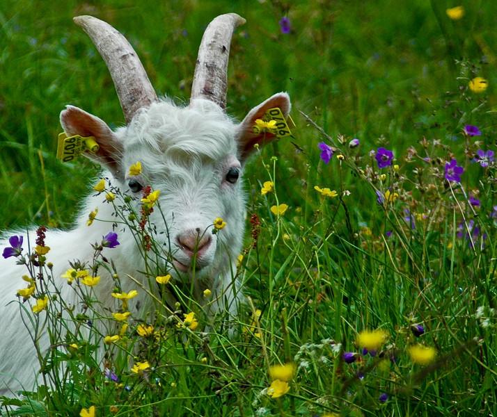 Nordic Goat.